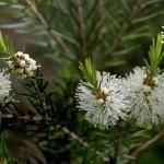 Árbol del té contra los piojos